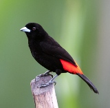 RedRumpTanager7906