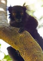 blackLemurMale